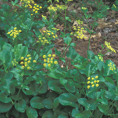 Leaves: Zizia aptera. ~ By Hal Horwitz. ~ Copyright © 2020 New England Wild Flower Society. ~ Image Request, images[at]newenglandwild.org