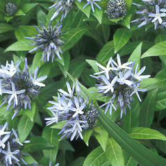Flowers: Amsonia tabernaemontana. ~ By Walt & Louiseann Pietrowicz. ~ Copyright © 2020 New England Wild Flower Society. ~ Image Request, images[at]newenglandwild.org