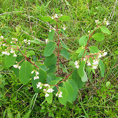 Plant form: Apocynum androsaemifolium. ~ By Donna Kausen. ~ Copyright © 2020 Donna Kausen. ~ 33 Bears Den, Addison, ME 04606