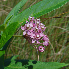 Flowers: Asclepias incarnata. ~ By Arthur Haines. ~ Copyright © 2020. ~ arthurhaines[at]wildblue.net