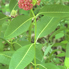 Plant form: Asclepias purpurascens. ~ By Steven Baskauf. ~ Copyright © 2020 CC-BY-NC-SA. ~  ~ Bioimages - www.cas.vanderbilt.edu/bioimages/frame.htm