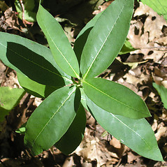 Leaves: Asclepias purpurascens. ~ By Bruce Patterson. ~ Copyright © 2020 Bruce Patterson. ~ foxpatterson[at]comcast.net