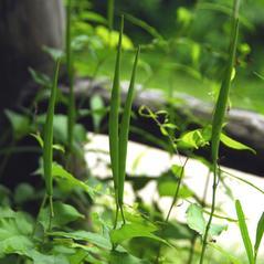 Fruits: Asclepias quadrifolia. ~ By Martha Baskin. ~ Copyright © 2020 Martha Baskin. ~ baskinmartha[at]gmail.com ~ North Carolina Native Plant Society - www.ncwildflower.org/index.php/site/