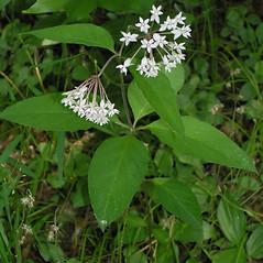 Plant form: Asclepias quadrifolia. ~ By Bruce Patterson. ~ Copyright © 2020 Bruce Patterson. ~ foxpatterson[at]comcast.net