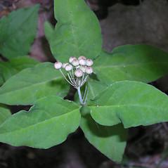 Leaves: Asclepias quadrifolia. ~ By Bruce Patterson. ~ Copyright © 2020 Bruce Patterson. ~ foxpatterson[at]comcast.net