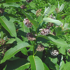 Plant form: Asclepias syriaca. ~ By Arthur Haines. ~ Copyright © 2021. ~ arthurhaines[at]wildblue.net