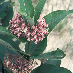 Plant form: Asclepias syriaca. ~ By Adelaide Pratt. ~ Copyright © 2020 New England Wild Flower Society. ~ Image Request, images[at]newenglandwild.org
