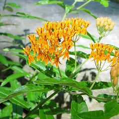 Plant form: Asclepias tuberosa. ~ By Arthur Haines. ~ Copyright © 2021. ~ arthurhaines[at]wildblue.net
