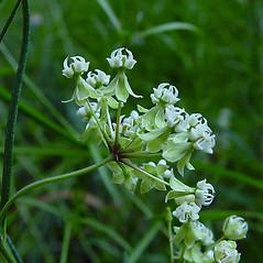 Flowers: Asclepias verticillata. ~ By Arthur Haines. ~ Copyright © 2020. ~ arthurhaines[at]wildblue.net