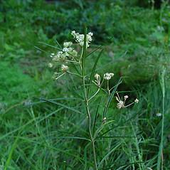 Plant form: Asclepias verticillata. ~ By Arthur Haines. ~ Copyright © 2020. ~ arthurhaines[at]wildblue.net