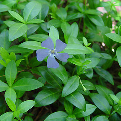 Flowers: Vinca minor. ~ By Arthur Haines. ~ Copyright © 2021. ~ arthurhaines[at]wildblue.net