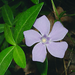 Flowers: Vinca minor. ~ By Glen Mittelhauser. ~ Copyright © 2021 Glen Mittelhauser. ~ www.mainenaturalhistory.org