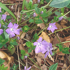 Flowers: Vinca minor. ~ By Walt & Louiseann Pietrowicz. ~ Copyright © 2021 New England Wild Flower Society. ~ Image Request, images[at]newenglandwild.org