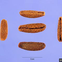 Fruits: Vinca minor. ~ By Steve Hurst. ~  Public Domain. ~  ~ USDA-NRCS Plants Database - plants.usda.gov/java/