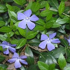 Plant form: Vinca minor. ~ By Bruce Patterson. ~ Copyright © 2021 Bruce Patterson. ~ foxpatterson[at]comcast.net