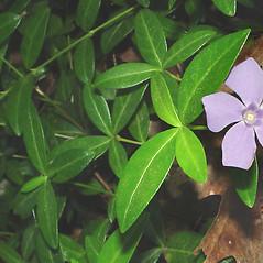 Leaves: Vinca minor. ~ By Glen Mittelhauser. ~ Copyright © 2021 Glen Mittelhauser. ~ www.mainenaturalhistory.org