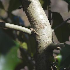 Bark: Ilex aquifolium. ~ By Bryan Hamlin. ~ Copyright © 2020 Bryan Hamlin. ~ bryanthamlin[at]gmail.com