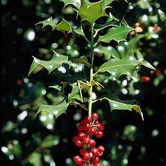 Fruits: Ilex aquifolium. ~ By Joseph DiTomaso. ~ Copyright © 2021 CC BY-NC 3.0. ~  ~ Bugwood - www.bugwood.org/