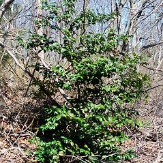 Plant form: Ilex aquifolium. ~ By Bryan Hamlin. ~ Copyright © 2020 Bryan Hamlin. ~ bryanthamlin[at]gmail.com
