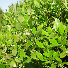 Plant form: Ilex glabra. ~ By Arthur Haines. ~ Copyright © 2021. ~ arthurhaines[at]wildblue.net