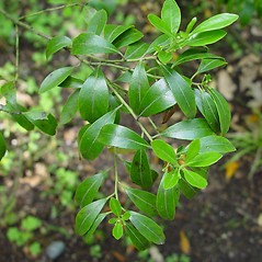 Leaves: Ilex glabra. ~ By Arthur Haines. ~ Copyright © 2021. ~ arthurhaines[at]wildblue.net
