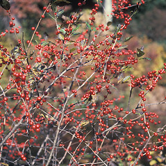 Fruits: Ilex laevigata. ~ By John Lynch. ~ Copyright © 2021 New England Wild Flower Society. ~ Image Request, images[at]newenglandwild.org
