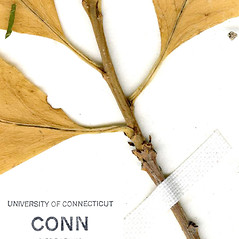Winter buds: Ilex laevigata. ~ By CONN Herbarium. ~ Copyright © 2021 CONN Herbarium. ~ Requests for image use not currently accepted by copyright holder ~ U. of Connecticut Herbarium - bgbaseserver.eeb.uconn.edu/