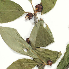 Fruits: Ilex montana. ~ By Derick B. Poindexter. ~ Copyright © 2021 Derick B. Poindexter. ~ dpoindex[at]live.unc.edu ~ Vascular Flora of Alleghany County, NC - vascularflora.appstate.edu/