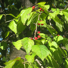 Plant form: Ilex montana. ~ By Karen Hirschberg. ~ Copyright © 2021 Karen Hirschberg. ~ karen.hirschberg[at]state.ma.us