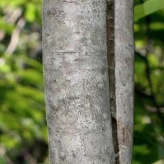 Bark: Ilex mucronata. ~ By Alexey Zinovjev. ~ Copyright © 2021. ~ webmaster[at]salicicola.com ~ Salicicola - www.salicicola.com/
