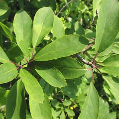 Leaves: Ilex mucronata. ~ By Marilee Lovit. ~ Copyright © 2021 Marilee Lovit. ~ lovitm[at]gmail.com