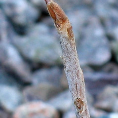 Winter buds: Ilex mucronata. ~ By Alexey Zinovjev. ~ Copyright © 2020. ~ webmaster[at]salicicola.com ~ Salicicola - www.salicicola.com/