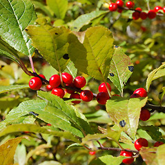 Fruits: Ilex verticillata. ~ By Peter Westover. ~ Copyright © 2021 Peter Westover. ~ No permission needed for non-commercial uses, with proper credit
