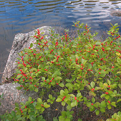 Plant form: Ilex verticillata. ~ By Marilee Lovit. ~ Copyright © 2021 Marilee Lovit. ~ lovitm[at]gmail.com