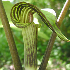 Flowers: Arisaema triphyllum. ~ By Donna Kausen. ~ Copyright © 2020 Donna Kausen. ~ 33 Bears Den, Addison, ME 04606