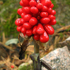 Fruits: Arisaema triphyllum. ~ By Donna Kausen. ~ Copyright © 2020 Donna Kausen. ~ 33 Bears Den, Addison, ME 04606