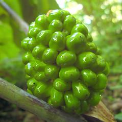 Fruits: Arisaema triphyllum. ~ By Donna Kausen. ~ Copyright © 2021 Donna Kausen. ~ 33 Bears Den, Addison, ME 04606
