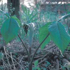 Plant form: Arisaema triphyllum. ~ By Frank Bramley. ~ Copyright © 2020 New England Wild Flower Society. ~ Image Request, images[at]newenglandwild.org