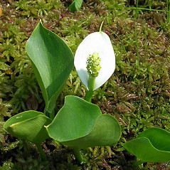 Leaves: Calla palustris. ~ By Douglas McGrady. ~ Copyright © 2021 Douglas McGrady. ~ demcgrady[at]hotmail.com
