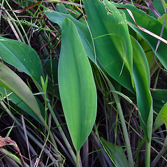 Leaves: Orontium aquaticum. ~ By Arthur Haines. ~ Copyright © 2020. ~ arthurhaines[at]wildblue.net