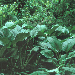 Leaves: Symplocarpus foetidus. ~ By Frank Bramley. ~ Copyright © 2021 New England Wild Flower Society. ~ Image Request, images[at]newenglandwild.org