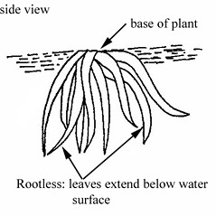Roots: Wolffiella gladiata. ~ By Julian A. Steyermark. ~ Copyright © 2021. ~ Allison Brock, Allison.Brock[at]mobot.org ~ Steyermark, Julian A. 1963. The Flora of Missouri. The Iowa State U. Press, Ames, IA. 1725pp.