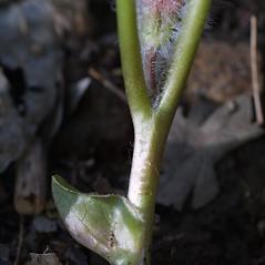 Stems: Asarum canadense. ~ By Steven Baskauf. ~ Copyright © 2020 CC-BY-NC-SA. ~  ~ Bioimages - www.cas.vanderbilt.edu/bioimages/frame.htm