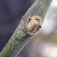 Winter buds: Isotrema tomentosum. ~ By Bruce Patterson. ~ Copyright © 2020 Bruce Patterson. ~ foxpatterson[at]comcast.net
