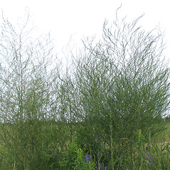 Plant form: Asparagus officinalis. ~ By Marilee Lovit. ~ Copyright © 2019 Marilee Lovit. ~ lovitm[at]gmail.com