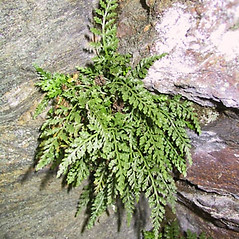 Plant form: Asplenium montanum. ~ By Janet Novak. ~ Copyright © 2020 Janet Novak. ~ Requests for image use not currently accepted by copyright holder ~ Connecticut Botanical Society - www.ct-botanical-society.org/