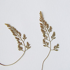 Leaf: Asplenium montanum. ~ By Arthur Haines. ~ Copyright © 2021. ~ arthurhaines[at]wildblue.net