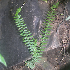 Plant form: Asplenium platyneuron. ~ By Bruce Patterson. ~ Copyright © 2020 Bruce Patterson. ~ foxpatterson[at]comcast.net