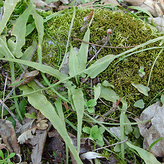 Plant form: Asplenium rhizophyllum. ~ By Arthur Haines. ~ Copyright © 2021. ~ arthurhaines[at]wildblue.net