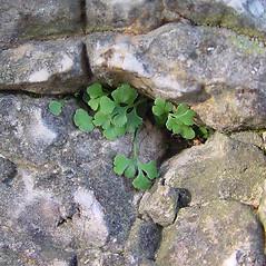 Leaf: Asplenium ruta-muraria. ~ By Arthur Haines. ~ Copyright © 2021. ~ arthurhaines[at]wildblue.net